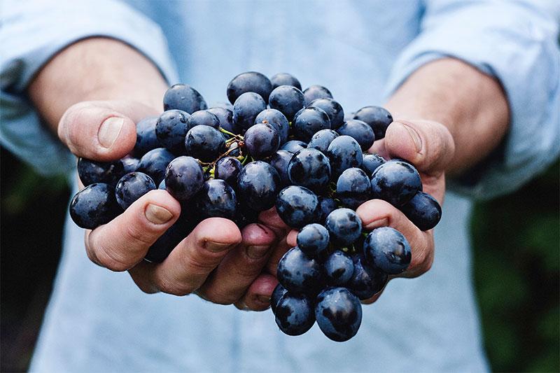 шепа грозде, поднесена на ръце