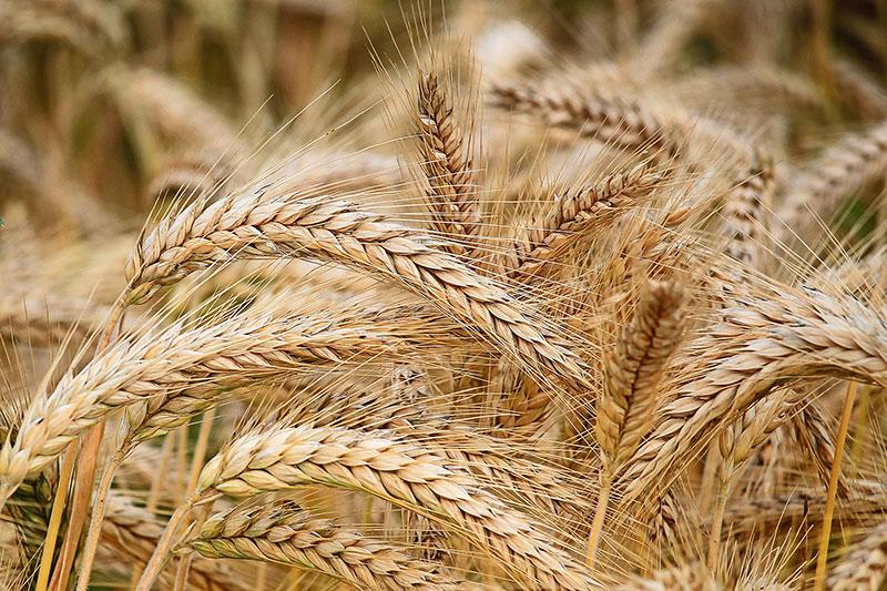 стръкове пшеница на полето