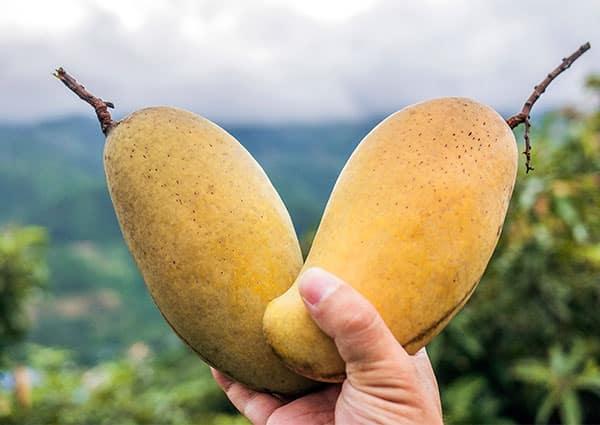 ръка държи два плода манго
