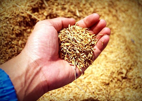 ръка държи в шепата си оризови зърна