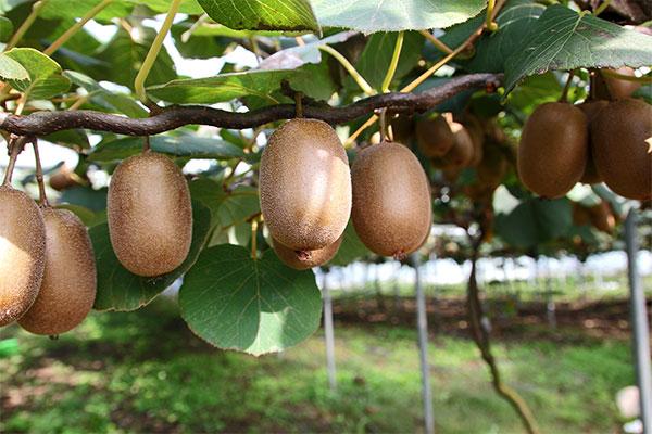 узрели плодове от киви върху дървото